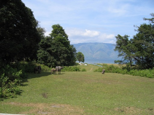 3 karbouwen op Samosir 512x3841 - The region around lake Toba
