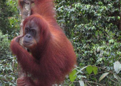 Orangutan4 1 400x284 - Home