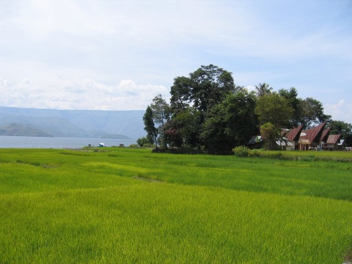 Rijstveld op Samosir aan Tobameer 512x3841 - The region around lake Toba