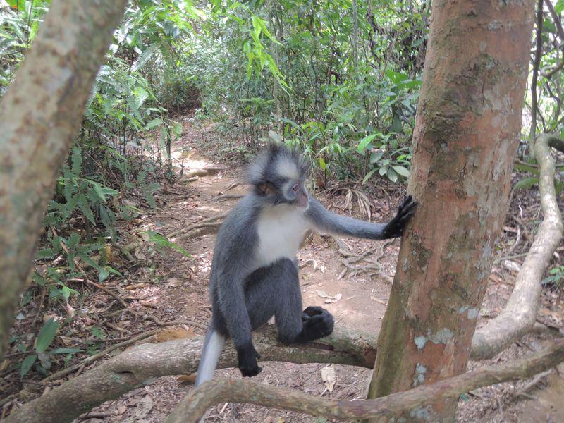 Thomas Leaf Monkey6 - Bukit Lawang