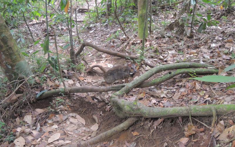 chevrotains - Bukit Lawang