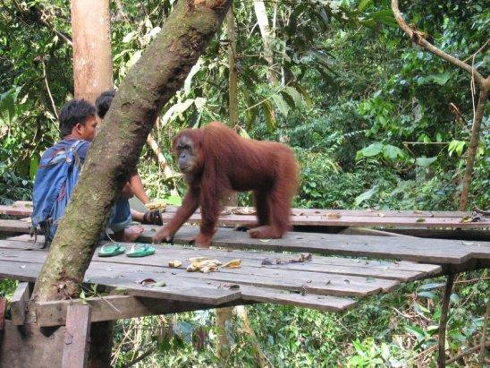 orangutan2 - Bohorok