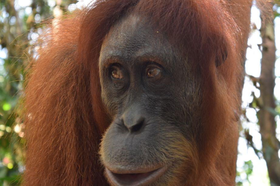 orangutans - Bukit Lawang
